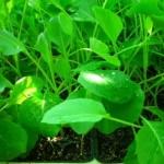 zelje zgodnje sadika