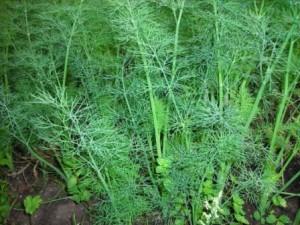 koper začimba, zdravilna rastlina