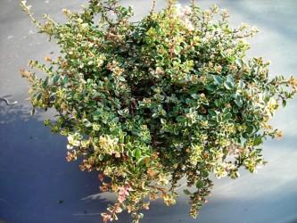 timijan citronski sadika