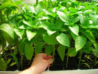 paprika zelena sadika