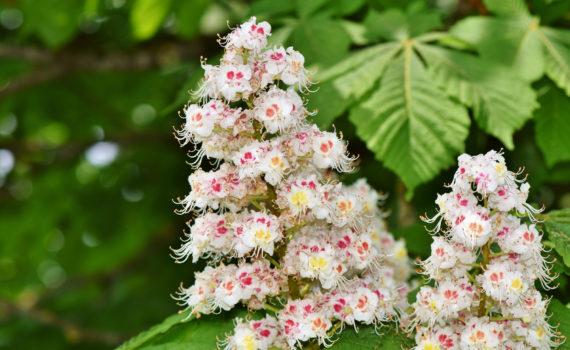 kostanjev popek - bachove kapljice, cvetne esence v prodaji