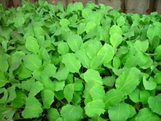 brokoli sadika